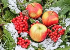 Pples and Viburnum in the snow. Red Apples and Viburnum in the snow and grass close up. First snow stock photos