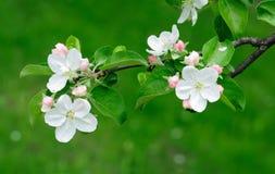 äpplet blommar treen Royaltyfri Foto