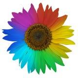 Öppna blomningen av regnbågesolrosen Arkivbild