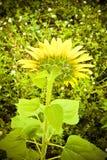 Öppna solrosen Royaltyfria Bilder