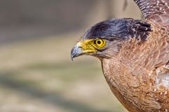 Pportrait of a Golden Eagle  Aquila chrysaetos Stock Photos