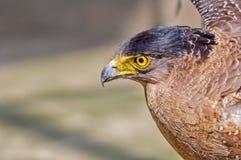 Pportrait van een Gouden chrysaetos van Eagle Aquila Stock Foto's