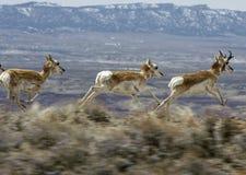 PPronghornantilope (americana Antilocapra) Royalty-vrije Stock Foto's