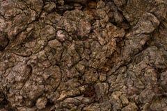 Präglad textur av det bruna skället av ett träd med grön mossa och laven på den Skäll för selektiv fokus Utvidgad rund panorama a Arkivbilder
