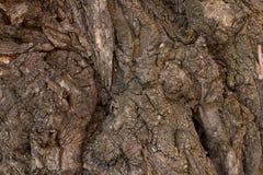 Präglad textur av det bruna skället av ett träd med grön mossa och laven på den Skäll för selektiv fokus Utvidgad rund panorama a Arkivbild