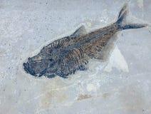 Prähistorisches Fisch-Skelett versteinert auf Grey Background stockbild
