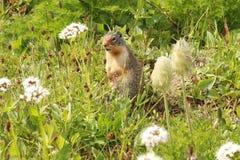 Präriehund, der in der Wildflower-Wiese steht Stockfotografie