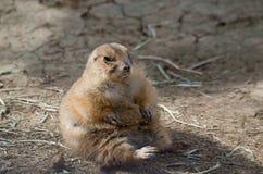 Präriehund på San Antonio Zoo Arkivfoto