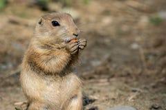 Präriehund schaut entzückend, während er eine Karotte isst stockfotografie
