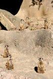 Präriehundkapplöpning Arkivbild
