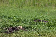 Präriehundkapplöpning i ett grönt fält royaltyfria bilder
