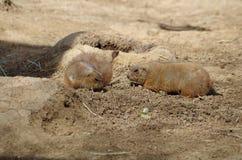 Präriehundkapplöpning på San Antonio Zoo Arkivbild