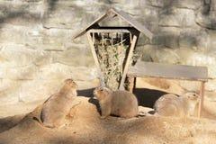 3 präriehundkapplöpning ut i solen Arkivbilder