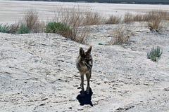 Prärievarg Death Valley arkivbild