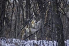 Prärievarg i skog Arkivbilder