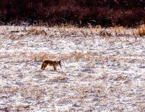 Prärievarg i snö med rovet Arkivfoto