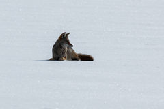 Prärievarg som ligger på snön Royaltyfria Bilder