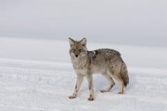 Prärievarg vinter, Yellowstone NP Arkivbilder