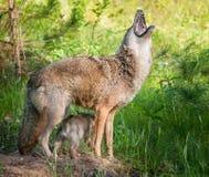 Prärievargen (Canislantrans) tjuter, medan valper kilar under royaltyfri foto