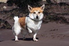 Präst Russell Terrier At The Beach Arkivbild