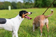 Präst Russell Terrier och kopplad hund Royaltyfri Bild
