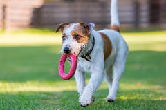 Prästen Russell Terrier hämtar en leksak Arkivbild