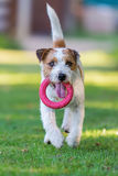 Prästen Russell Terrier hämtar en leksak Arkivbilder