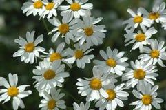 Prästkrage-, krysantemum-, vit- och gulingblomningar i vår arkivfoton