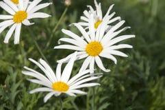 Prästkragetusenskönan blommar i fält arkivfoton