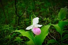 Prålig dam`-s-häftklammermatare - Cypripediumreginae - Minnesota statlig blomma Royaltyfri Foto