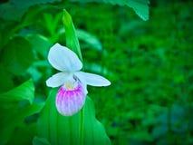 Prålig dam`-s-häftklammermatare - Cypripediumreginae - Minnesota statlig blomma Arkivbild