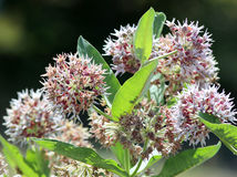 Prålig Milkweed - Asclepiasspeciosa Royaltyfri Bild