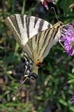 Prålig stor fjäril (iphiclidespodaliriusen) Royaltyfria Foton