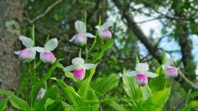 Pråliga dam`-s-häftklammermatare - Cypripediumreginae - Minnesota statlig blomma Royaltyfria Bilder