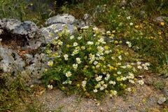 Pré alpin avec de belles marguerites Marguerites et fleurs sauvages dans les montagnes images stock