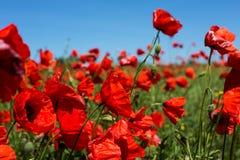 Pré avec des fleurs de pavot photos libres de droits