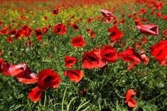 Pré avec des fleurs de pavot image libre de droits
