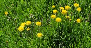 Pré avec des fleurs de pissenlit, officinale de taraxacum, Normandie en France, mouvement lent clips vidéos