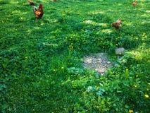 pré avec des poules Photos libres de droits