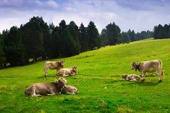 Pré avec des vaches Photo libre de droits