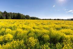 Pré avec le cresson jaune un jour ensoleillé clair Ñ ½ е de Ð du ¾ Ð  Ñ ¹ Ð ‹Ñ ½ Ð  Р» Photographie stock