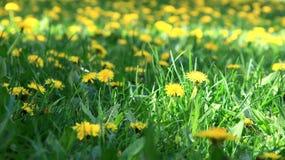Pré avec les fleurs jaunes Image libre de droits