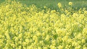 Pré avec les fleurs jaunes banque de vidéos