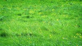 Pré avec les fleurs jaunes au soleil banque de vidéos