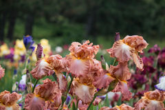 Pré avec les iris colorés Images stock