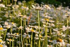Pré avec les marguerites fleurissantes sur le coucher du soleil Pétales blancs et noyaux jaunes des camomilles images libres de droits