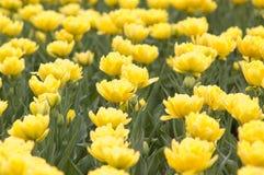 Pré avec les tulipes lumineuses de source Photos stock
