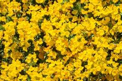 Pré couvert dans des wildflowers de strigosus d'Acmispon de lotus de Strigose photo stock