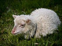 Pré d'agneau Photographie stock