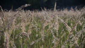 Pré d'herbe sur le vent banque de vidéos